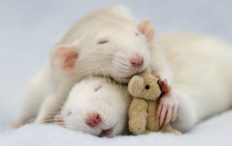 The Best Pet For A High Schools Student: Pet Rat