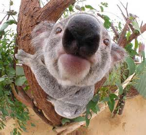 Save the Koalas!