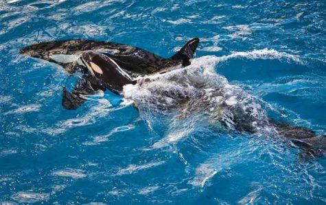 SeaWorld's Last Baby Killer Whale Born!