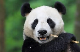 Interesting Facts About Giant Pandas!