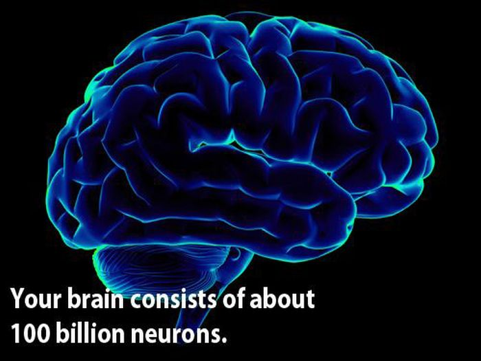 The Voyager : Facts about the human brain
