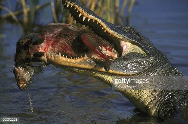 Crocodiles eating prey