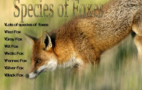 All types of Foxes