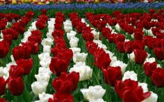 Facts about Roses and Tulips