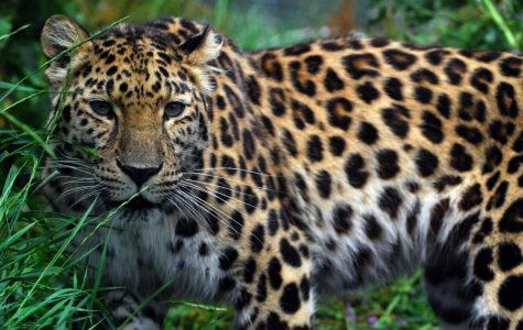 Fun Facts About The Amur Leopard