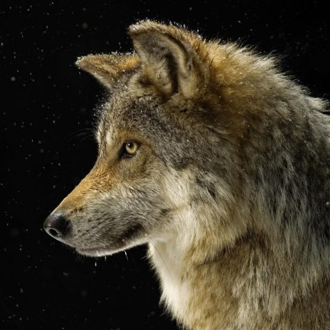 Basic Facts About Gray Wolves