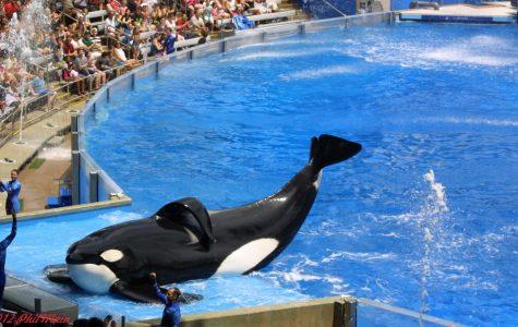 Killer Whales Don't Belong in Sea World