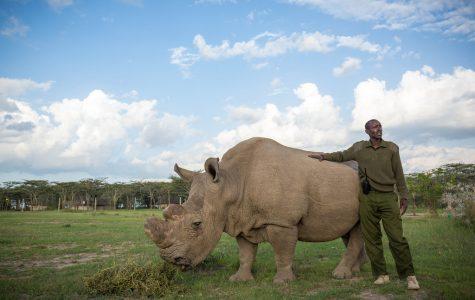 The last male northern white rhino is sick!