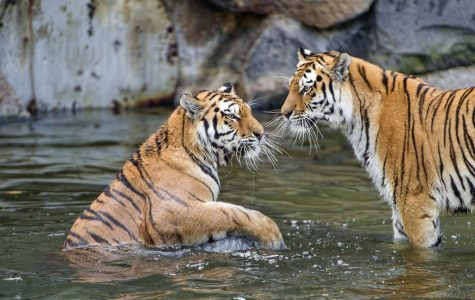 Crazy Fact About Tigers