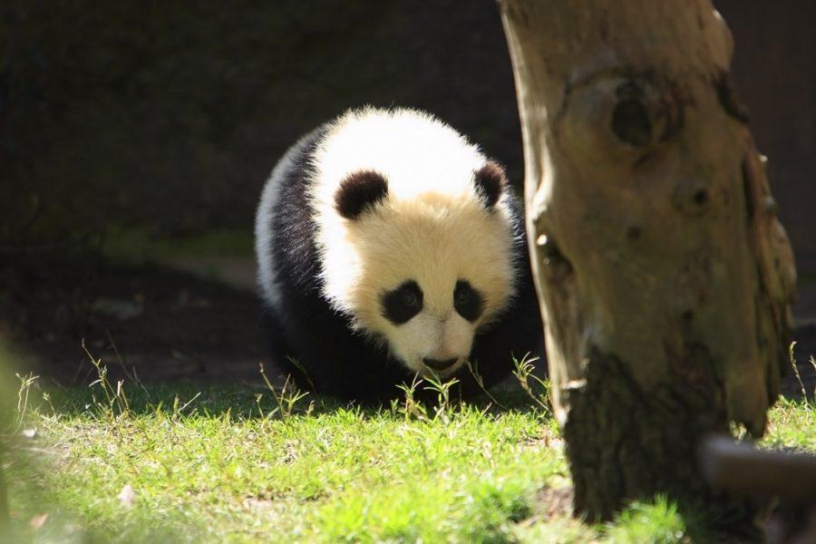A growing process of a baby panda