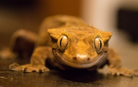 Facts About Crested Geckos