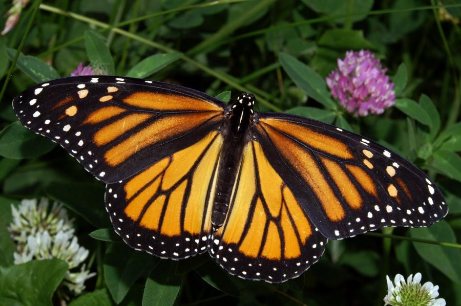 Why+Are+Butterflies+Migrating+to+California%3F
