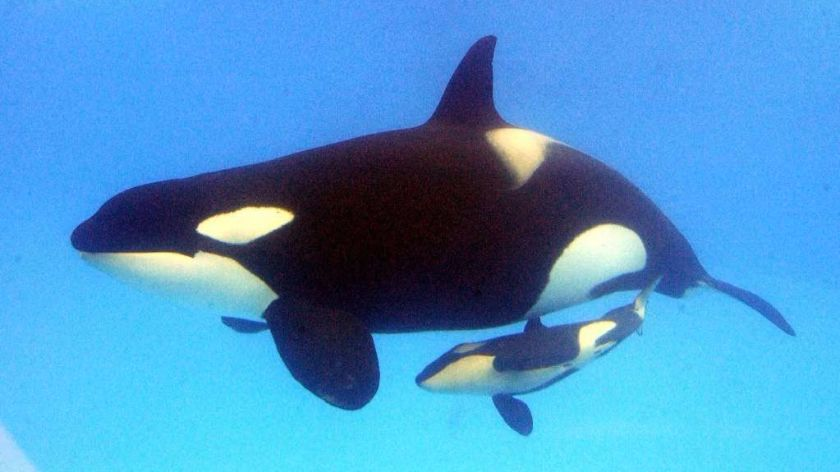 Interesting Facts About Killer Whales